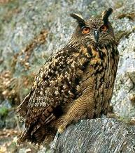 owl-afbeelding-kerkuil
