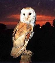 owl-afbeelding-oehoe