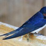 Zwaluw met blauwe en oranje veren