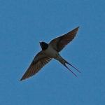 Zwaluw met gestrekte vleugels