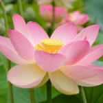 Roze lotus bloem